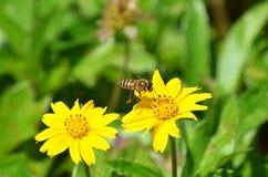Abeja salvaje que se prepara para aterrizar en un wildflower amarillo en Tailandia Imagenes de archivo