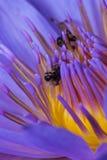 Abeja sin aguijón en Lotus Foto de archivo libre de regalías