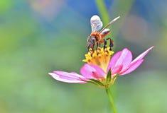 Abeja sin aguijón que recoge el polen Fotos de archivo