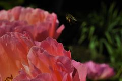 Abeja sobre la flor Imagen de archivo libre de regalías