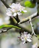 Abeja sobre la flor Imagen de archivo