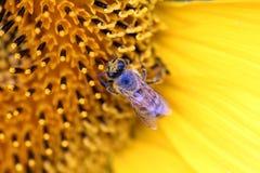 Abeja sobre la flor Fotografía de archivo libre de regalías