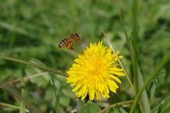 Abeja sobre la flor Foto de archivo