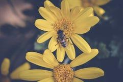 Abeja sobre la flor amarilla Imagenes de archivo