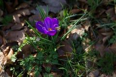 Abeja sobre la flor del azafrán Imagen de archivo