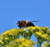 Abeja sobre las flores salvajes del hinojo Fotografía de archivo