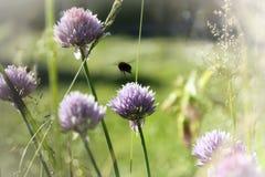 Abeja sobre un allium floreciente en el jardín Imagen de archivo libre de regalías