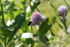 Abeja sobre un allium floreciente en el jardín Foto de archivo