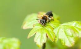 Abeja solitaria del retrato del insecto Imágenes de archivo libres de regalías