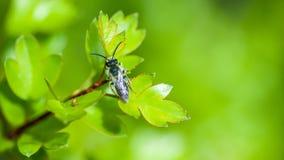 Abeja solitaria del retrato del insecto Imagenes de archivo