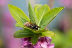 Abeja solitaria en la flor Imagen de archivo libre de regalías