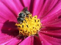 Abeja solitaria en la flor de Cosmo Fotos de archivo
