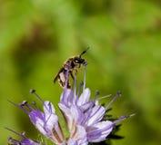 Abeja solitaria en la flor de Phacelia Foto de archivo