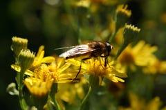 Abeja solitaria en las flores amarillas Fotografía de archivo