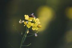 Abeja solitaria en las flores amarillas Fotos de archivo