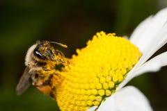Abeja solitaria que recoge el polen Fotos de archivo libres de regalías