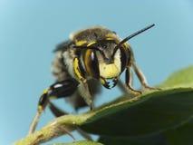 Abeja (SP del Anthidium.) Fotografía de archivo