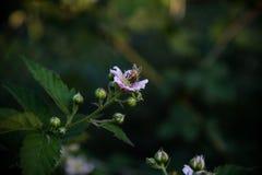 Abeja trabajadora en la flor Foto de archivo libre de regalías