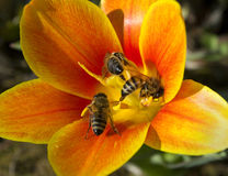 Abeja tres en la flor. Fotos de archivo
