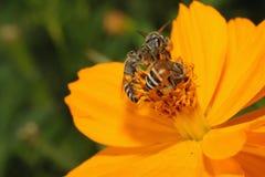 Abeja tres en la flor amarilla en jardín. Imagenes de archivo