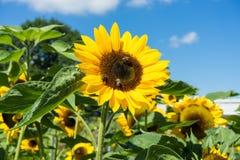 Abeja tres que se sienta en el girasol con el cielo azul Foto de archivo libre de regalías