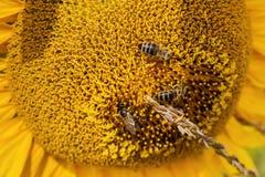 Abeja tres que se sienta en el girasol de la flor Fotos de archivo libres de regalías