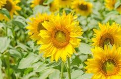 Abeja a un girasol amarillo, campo del campo, cierre del vuelo para arriba Fotografía de archivo