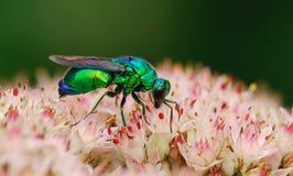 Abeja verde Imagen de archivo libre de regalías