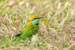 Abeja verde - comedor Imagen de archivo libre de regalías