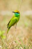 Abeja verde - comedor Fotografía de archivo
