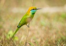Abeja verde - comedor Foto de archivo