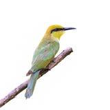 Abeja verde - comedor o pequeños abeja-comedor u orientalis verdes del Merops Fotos de archivo