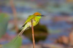 Abeja verde - comedor (orientalis del Merops) Fotos de archivo
