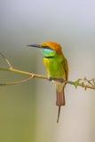 Abeja verde - comedor (orientalis del Merops) Imagen de archivo