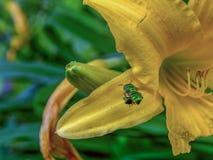 Abeja verde de la orquídea que asoma cerca de un daylily amarillo imagenes de archivo
