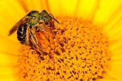 Abeja verde en la flor amarilla Fotografía de archivo