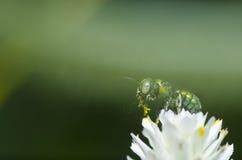 Abeja verde en la flor blanca Imagenes de archivo