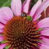 Abeja verde en la flor rosada Fotos de archivo