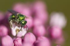 Abeja verde en las flores rosadas Foto de archivo