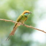 Abeja verde - pequeño abeja-comedor verde del comedor Fotos de archivo libres de regalías