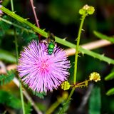 Abeja verde que visita el escaramujo sensible púrpura Foto de archivo libre de regalías