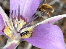 Abeja y Abeja-mosca en un lirio de Mariposa Imágenes de archivo libres de regalías