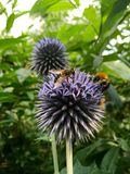 Abeja y abejorro de la miel Fotografía de archivo