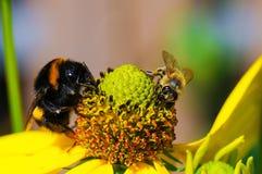 Abeja y abejorro en el flor Imagenes de archivo