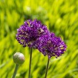 Abeja y alliums púrpuras Imagen de archivo libre de regalías