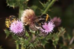 Abeja y avispa en la flor del cardo. Foto de archivo
