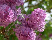 Abeja y avispa en lila Mosca lanuda en colores de la lila donadora de polen de insecto Imagen de archivo libre de regalías