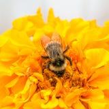 Abeja y cabeza de flor amarilla Imagen de archivo