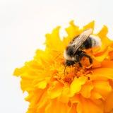 Abeja y cabeza de flor amarilla Fotos de archivo