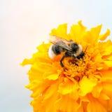 Abeja y cabeza de flor amarilla Fotos de archivo libres de regalías